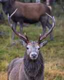 Deer Stalking 4. Red Stag at the Ardverikie Estate in the Scottish Highlands; better known as the backdrop for the BBC Series Monarch of the Glen Royalty Free Stock Images