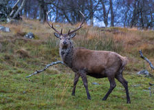 Deer Stalking 2. Red Stag at the Ardverikie Estate in the Scottish Highlands; better known as the backdrop for the BBC Series Monarch of the Glen Stock Photography