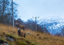 Deer Stalking 3. Red Stag at the Ardverikie Estate in the Scottish Highlands; better known as the backdrop for the BBC Series Monarch of the Glen Royalty Free Stock Photos