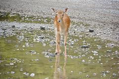Deer standing in a creek stock images