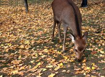 Deer standing and eating the grass on the falling leaves floor at the park in Nara, Japan. The park is home to hundreds of freely roaming deer stock images