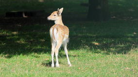Deer standing in the field on a sunny day (The Netherlands) Stock Photos
