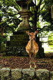 Deer standing in a forest Royalty Free Stock Photo