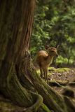 Deer standing in a forest Stock Photos
