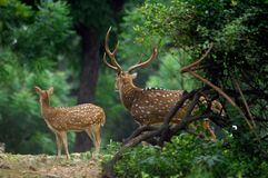 Deer standing in the forest Royalty Free Stock Image