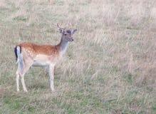 Deer. Standing in german field Royalty Free Stock Images