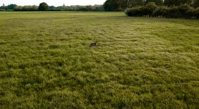 A Deer standing in the middle of a green field stock photo