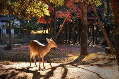 Deer standing in Nara park Royalty Free Stock Photography