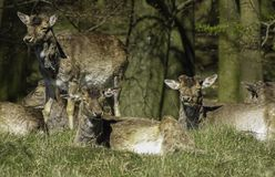 Deer in green field. Deer standing and resting in green field on sunny day Stock Photo