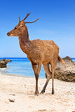 Deer standing on a sandy beach near to seacoast Royalty Free Stock Images