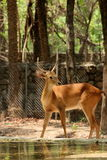 Deer standing still Royalty Free Stock Photo