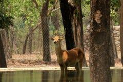 Deer standing still in water. Wild Deer standing still in water stock photography