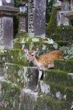 Deer at Todaiji temple in Nara, Japan Royalty Free Stock Images
