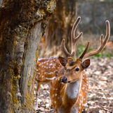 Animal deer stock. Beautiful deer is standing beside a tree around a local area zoo in Bangladesh royalty free stock photos