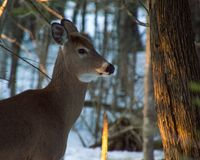 Deer standing under trees in winter with snow on its muzzle stock photography