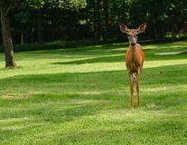 The deer stands alone. A curious deer approaches the camera on a sweltering hot August day stock photos