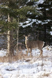 Deer stands by tree. Stock Images