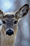 Deer staring back at the camera Royalty Free Stock Images