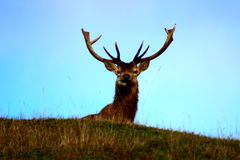 Deer staring behind the hill. Robust deer looking at the camera from the grass in New Zealand Royalty Free Stock Photography