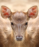 Deer staring at the camera. Royalty Free Stock Image