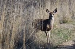 Deer Stepping Out From The Tall Marsh Grass Stock Photo