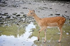Deer stepping in water stock images