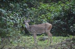 Deer still Royalty Free Stock Images