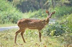 Deer still Stock Photography