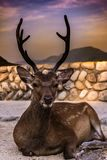 Laying down deer in the streets of miyajima royalty free stock photo
