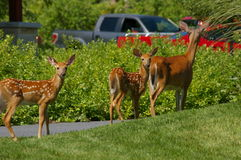 Deer in suburbia Royalty Free Stock Photos