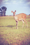 Deer in summer forest. Animals in natural environment. Vignette Stock Images