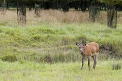 Deer in a summer forest Royalty Free Stock Photos