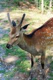 Deer. A deer in summer sun Royalty Free Stock Photography