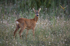 Deer on a summernight Royalty Free Stock Photography