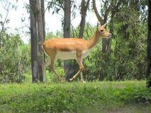 Deer in Sunlight Stock Images