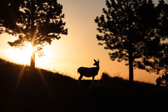 Deer at Sunrise. A mule deer doe watches the sun rise on Colorado Stock Photo