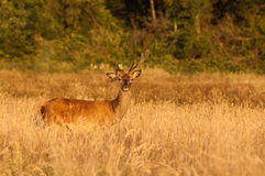 Deer sunset field Royalty Free Stock Images