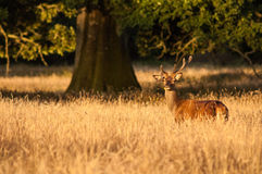 Deer at sunset Royalty Free Stock Image