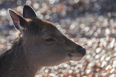 Deer in sunshine Royalty Free Stock Photography
