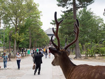 A deer surveys tourists in Nara, Japan. A sacred deer surveys tourists visiting a temple in Nara, Japan Stock Image