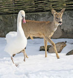 Deer and swan. In the zoo Royalty Free Stock Photos
