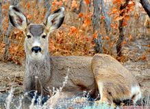 A Resting Deer In the Oak Forest. A deer takes a moment to rest in her day Royalty Free Stock Photos