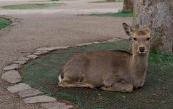 Deer. Tame Deer at Nara Park in Japan Royalty Free Stock Photography