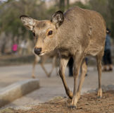 Deer. Tame deer in Nara park, Japan Royalty Free Stock Image