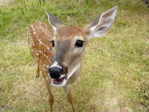 Deer Teenage. A young deer Royalty Free Stock Photography
