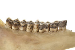 Deer teeth Stock Images