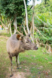 Deer in tent camp place at khao yai, Thailand Royalty Free Stock Photography