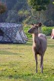 Deer among tent Stock Photos