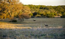 Deer in Texas Hill Country pasture, Driftwood Texas stock photo