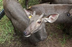 Deer in Thailand zoo. Animal, deer, brown, female food grey nature planet relax stare zoo Royalty Free Stock Photo